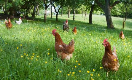 Kết quả hình ảnh cho chăn nuôi hữu cơ